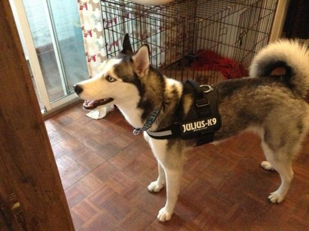 Diesels Julius K9 Harness And All Labels Member Media Husky