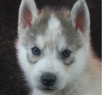 Eye Color Siberian Husky General Husky Owners The Siberian