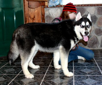 What Color Am I Member Media Husky Owners The Siberian Husky