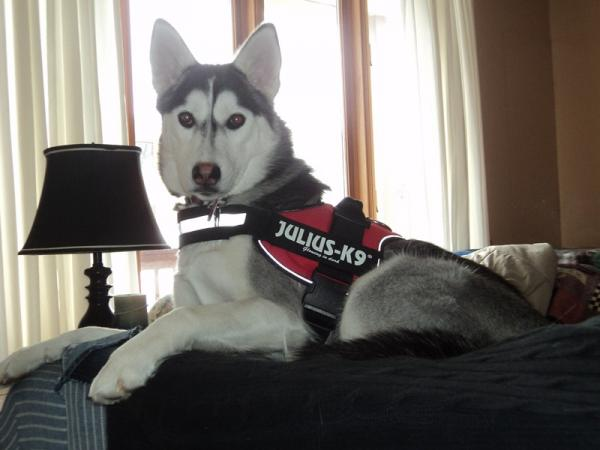 Julius K9 Harness Siberian Husky General Husky Owners The