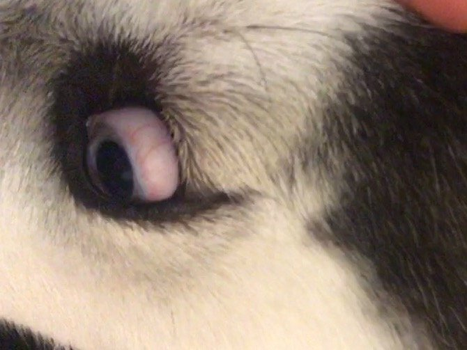 Red Eye Husky Health Diet Husky Owners The Siberian Husky Forum