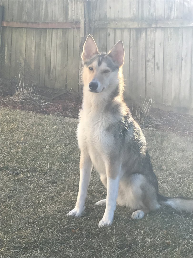 Anybody have a coyote looking husky?