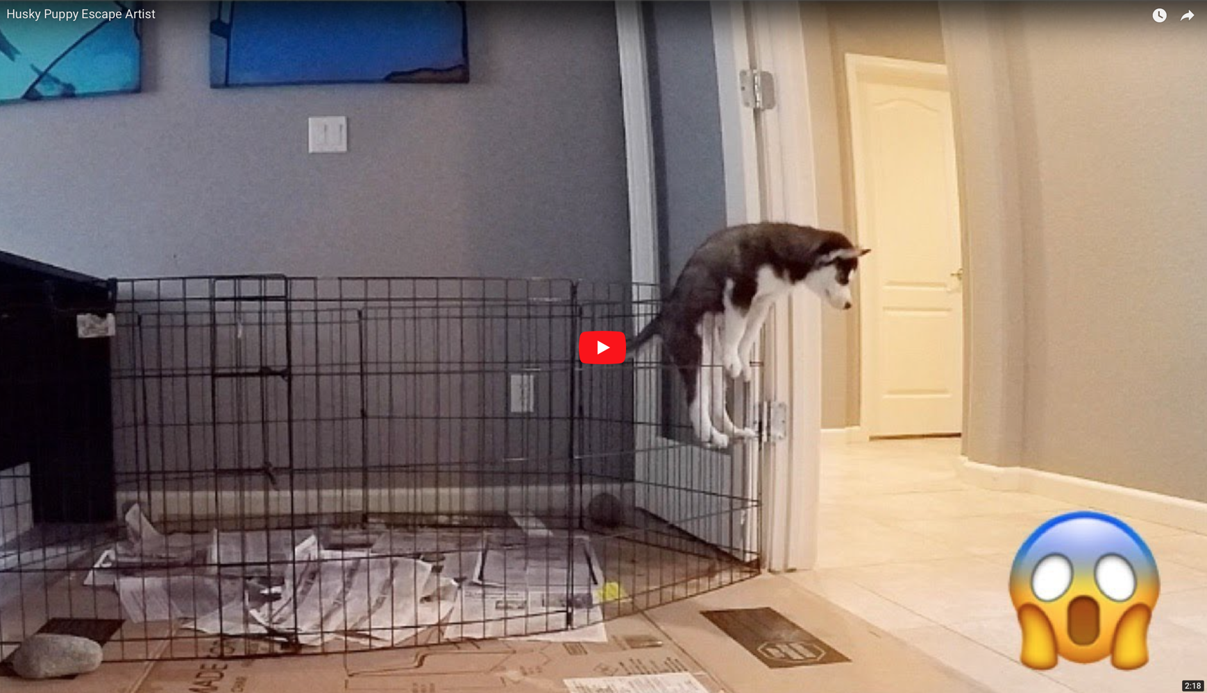 Husky Puppy Escape Artist at 8 weeks old...